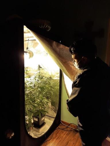 Un carabiniere osserva una piantagione di marijuana fatta in casa